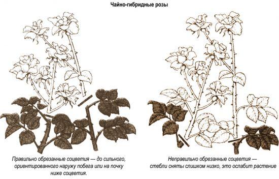 обрезка чайно-гибридных роз