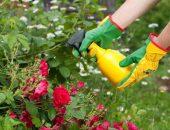 Обработка роз салициловой кислотой и нашатырем