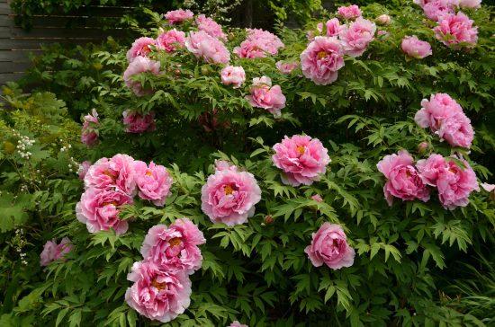 Цветущий куст пионов
