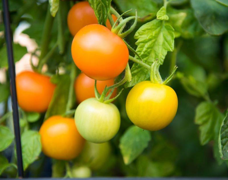 Почему не краснеют помидоры и что с ними делать