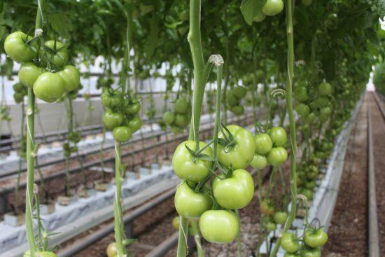 Задержка созревания томатов