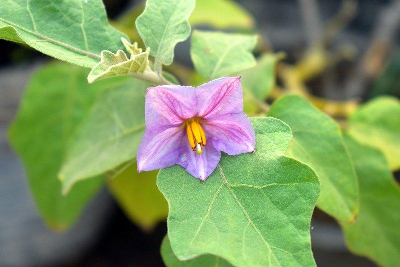 Баклажаны цветут, но не завязываются: что делать, чтобы не остаться без урожая?