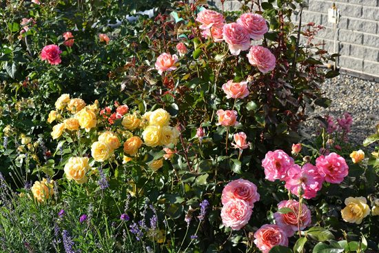 Цветущие розы летом