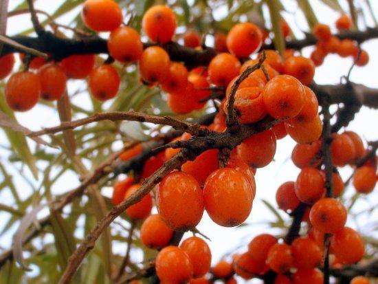 Перезрелые ягоды
