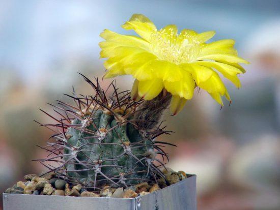 Кактус с жёлтым цветком