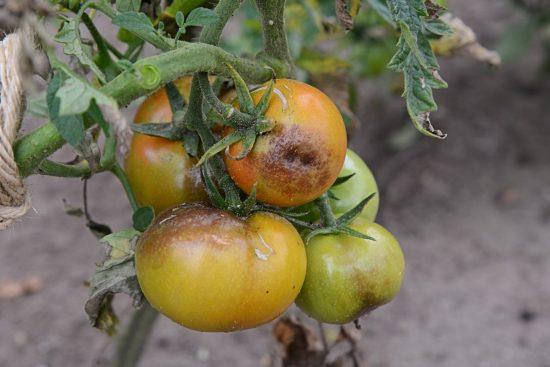 Фитофтора поражает плоды