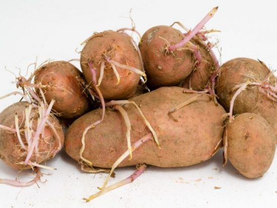 Проросшая картошка