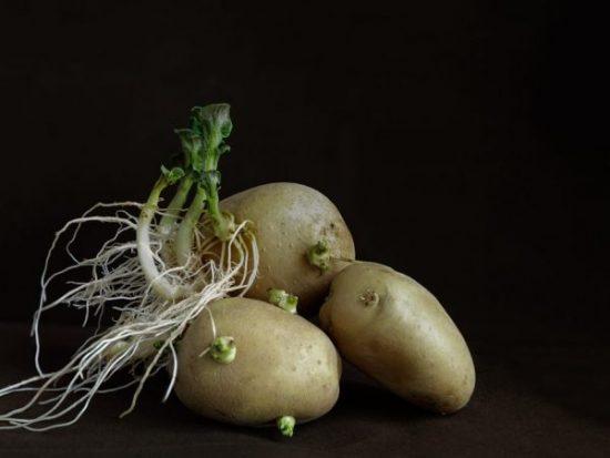Семенной картофель с корнями
