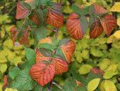 малина осенью