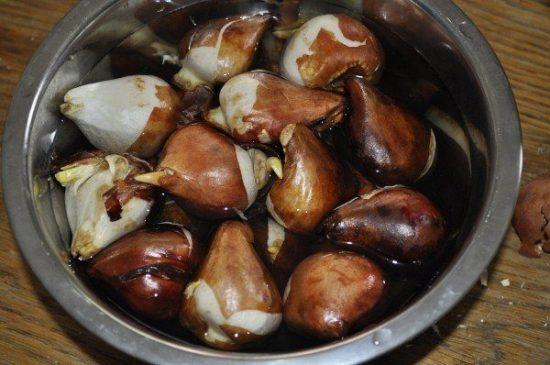 Обеззараживание луковиц