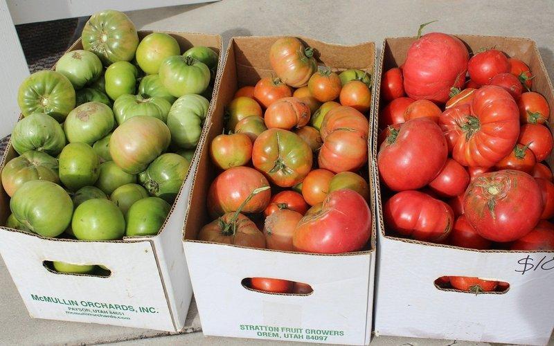 Если помидоры не краснеют: дозаривание урожая в домашних условиях