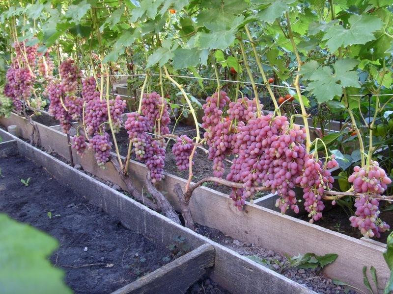 Как ускорить созревание винограда в августе и сентябре