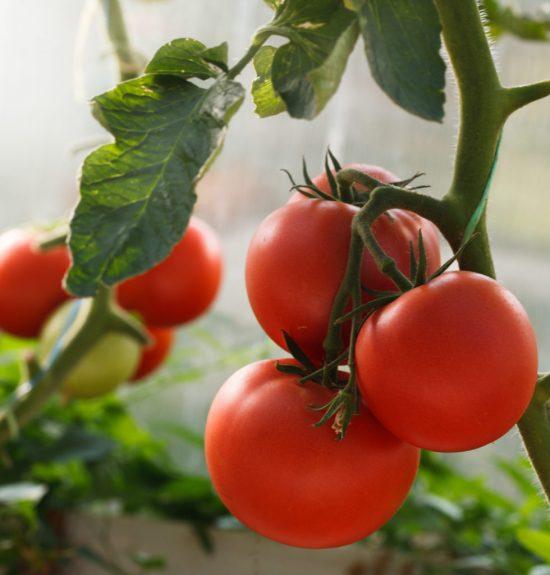 Зрелые томаты на кусте