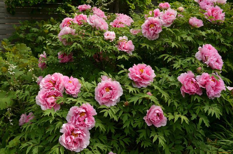 Чем подкормить пионы весной и осенью, чтобы они цвели пышно и долго