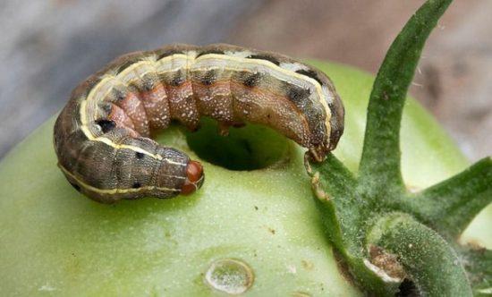 Гусеница совка