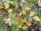 Желтеющие листья розы