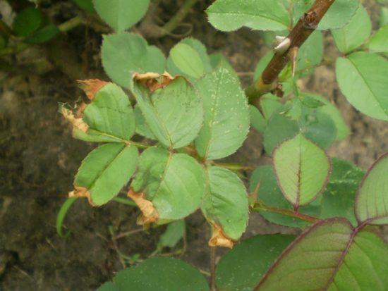 Сохнущие кончики у листьев роз