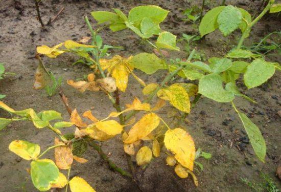 Роза с желтеющими листьями