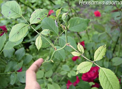 Нехватка азота у розы