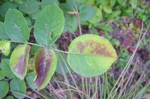Нехватка фосфора у роз