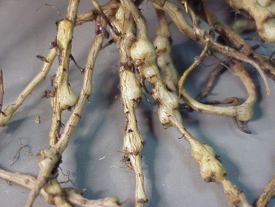 Галловая нематода на корнях розы