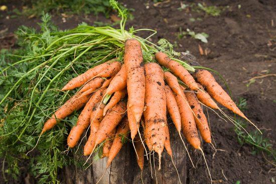 Готовая к уборке морковь