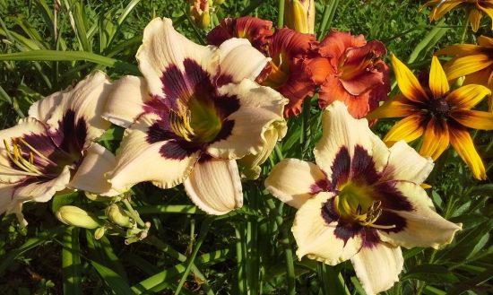 Цветы лилейника