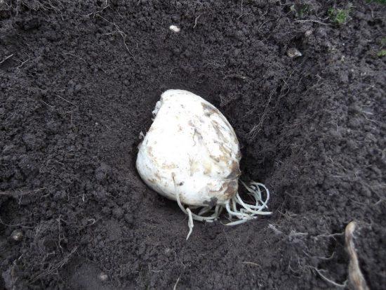 Луковичка в яме