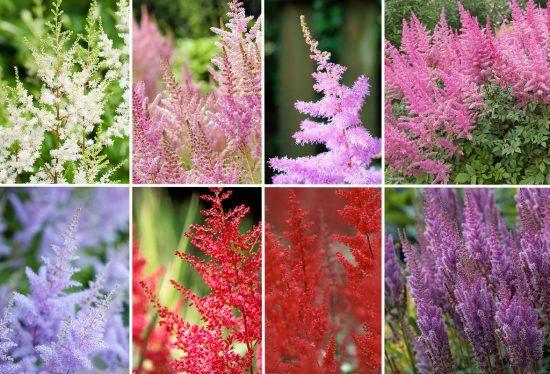 Разнообразие расцветок астильбы
