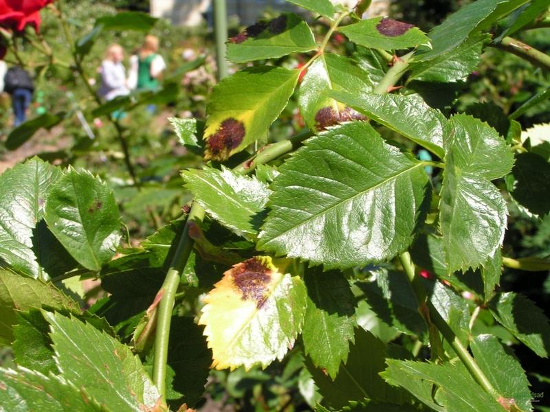 Чёрные пятна на листьях розы: почему появляются и как лечить