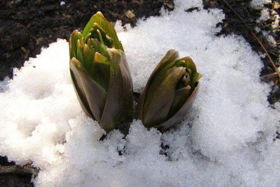 Цветок рябчик весной