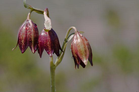 Fritillaria_biflora — дикий рябчик