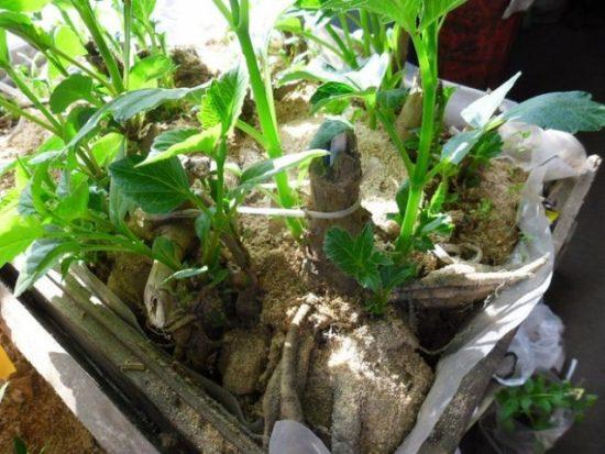 Проращивание георгинов