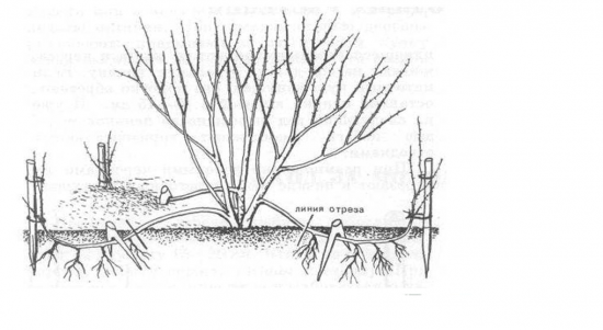 Схема укоренения отводков