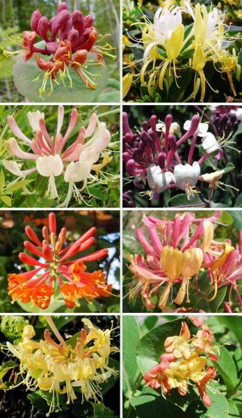 Сортовое разнообразие жимолости Каприфоль
