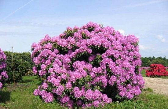 Куст рододендрона в цвету