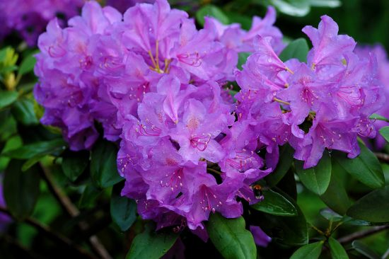 Цветы рододендрона