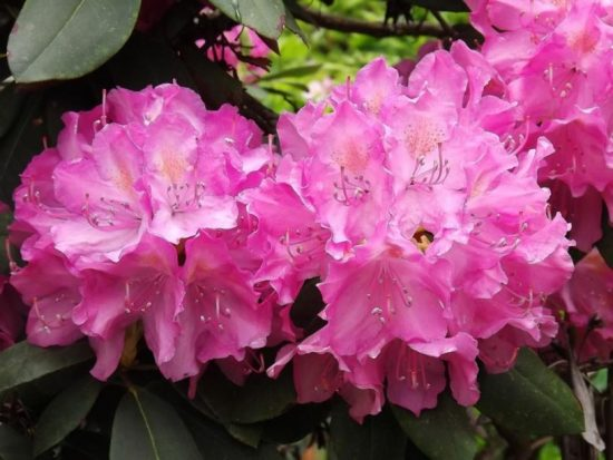 Рододендрон English Roseum