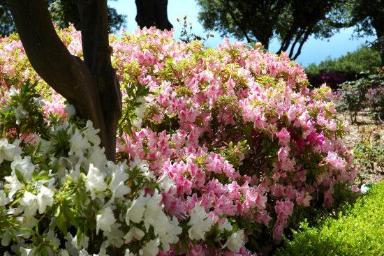 Рододендроны по деревом