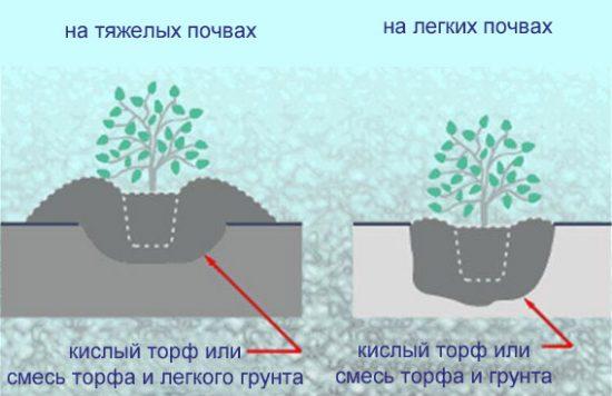 Разные способы высадки рододендрона