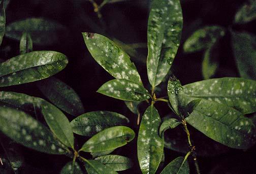 Мучнистая роса на рододендроне