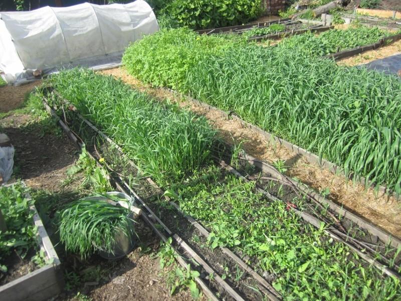Сидераты летом: когда сеять и надо ли закапывать в грядку