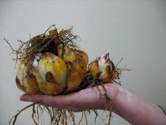 Дочерняя луковица лилии