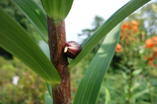 Стеблевая луковица лилии