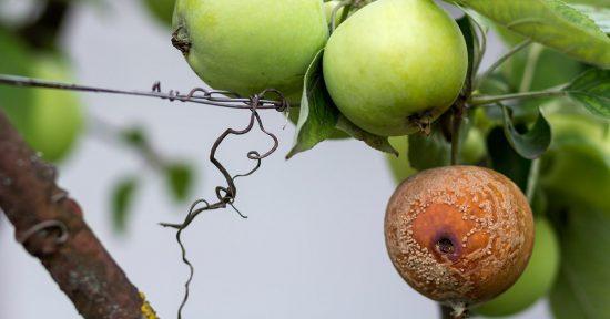 Яблоко повреждено и загнило