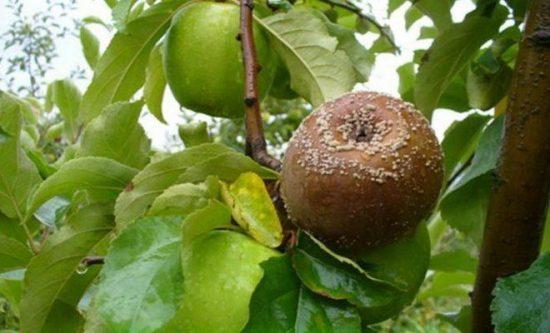 Кольца плодовой гнили
