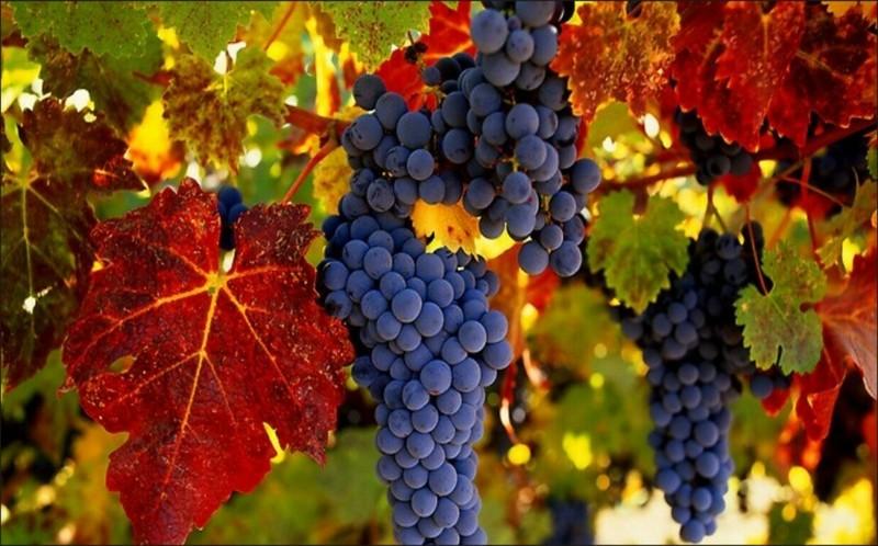 Обрезка винограда осенью: сроки, пошаговая инструкция