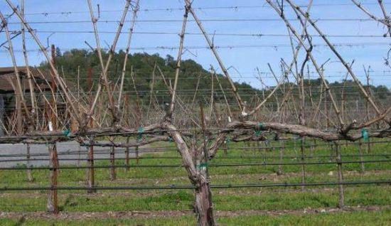 Рукава винограда