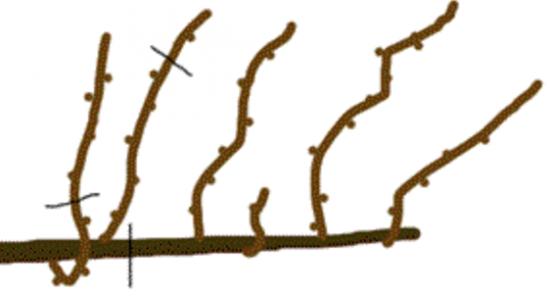 Обрезка на сучок и лозу