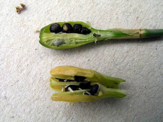 Семена нарцисса